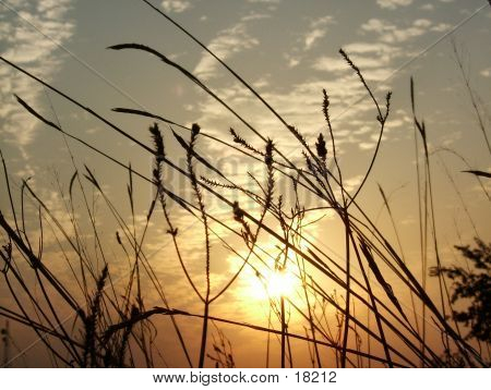Silhouette Of Tall Grass