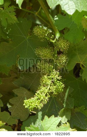 Wine Grapes 1