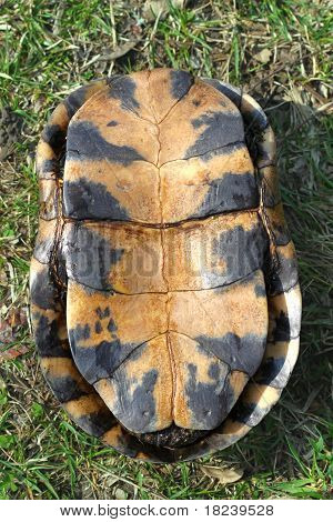 Blandings Turtle Plastron