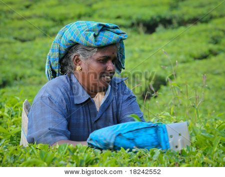 MUNNAR, INDIA - DECEMBER 7: An unidentified woman picking tea leaves on a tea plantation on December 7. 2010 in Munnar, Kerala, India. Munnar is best known as India's tea capital.
