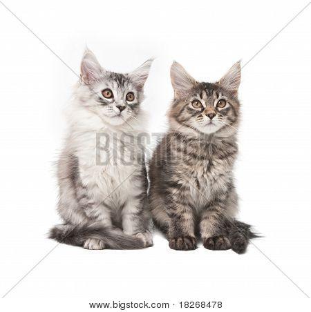 Two Fluffy Kittens