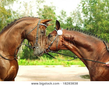 couple of breed trakehner