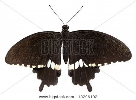 Family: papilionidae. Species: Papilio polytes (male) (Common Mormon, Kleiner Mormon, Mormon Commun) native to India, Nepal, Shri-Lanka, Thailand, southern and western China, Japan, Laos, Vietnam