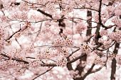 Cherry blossom in full bloom. cherry flowers in small clusters on a cherry tree branch. poster