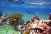 stock photo of sergeant major  - Sergeant Major fishes in caribbean reef Mexico Mayan Riviera - JPG