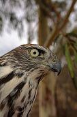 stock photo of goshawk  - Brown Goshawk also known as Accipiter fasciatus - JPG
