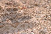 pic of western diamondback rattlesnake  - A western diamondback rattlesnake sits quietly coiled waiting for a passing meal - JPG