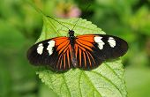 picture of dory  - Vibrant orange black and white Doris butterfly - JPG