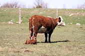 stock photo of hereford  - Hereford calf lying on the ground beside its standing mother in a small pasture in early spring - JPG