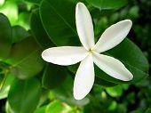 image of white flower  - Flower delicate white flower in full bloom over green foliage - JPG