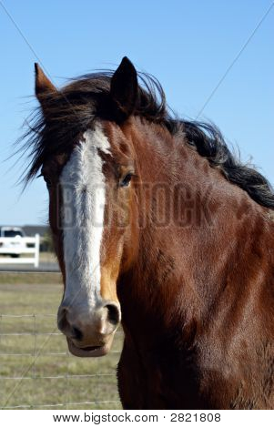 Clydesdale Beauty