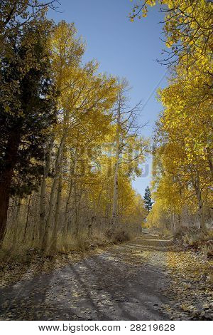 Country Lane And Aspens
