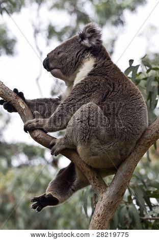 Carefree, Wild Koala