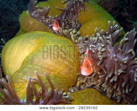 Pink Anemonefish & Tosa Commensal Shrimps