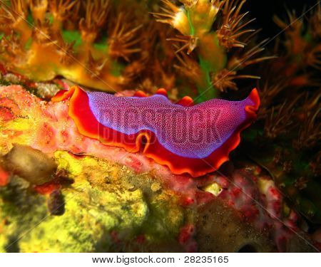 Fuchsia Flatworm