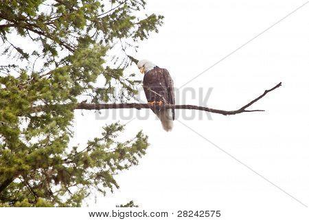Weißkopfseeadler thront