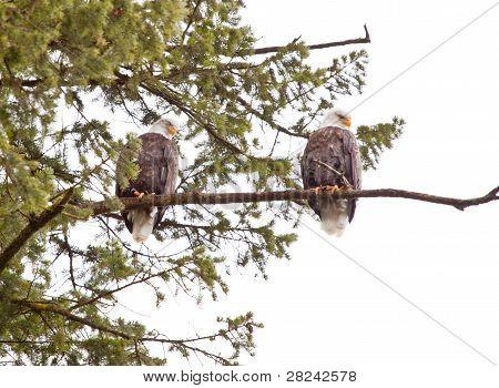 zwei Weißkopfseeadler
