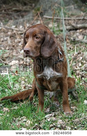 Brown Hunting Dog