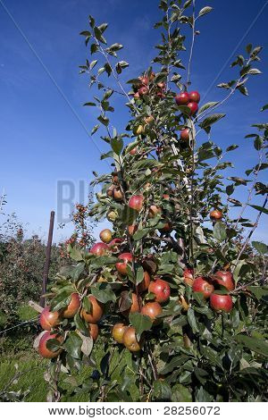 Red Apples Growing In An Orchard