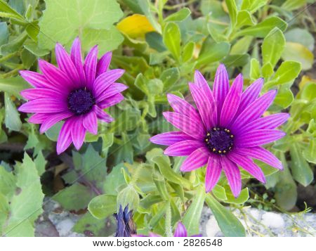 Two Purple Daisies