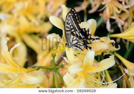 Papilionidae And Lycoris Rubroaurantiaca.