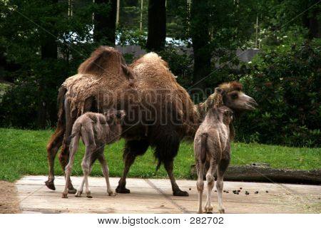 Baby Camels