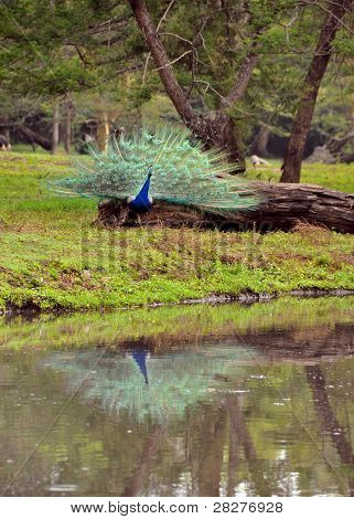 Peacock in full bloom and his reflection