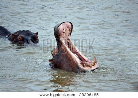 Hippopotamus Displaying His Teeth