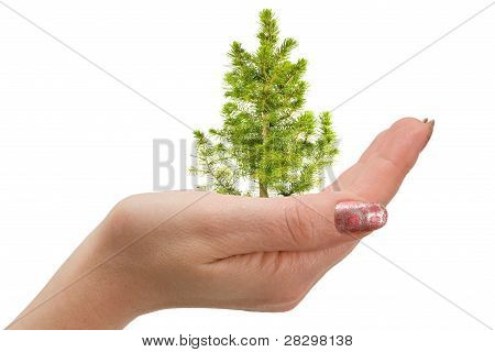 Fir Tree In Hand