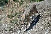 Gray Wolf In The Zoo. The Wolf Whose Moult poster
