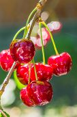 Red Berries Of Sweet Cherry On A Branch In A Summer Garden On Blurred Background Of Green Leaves And poster