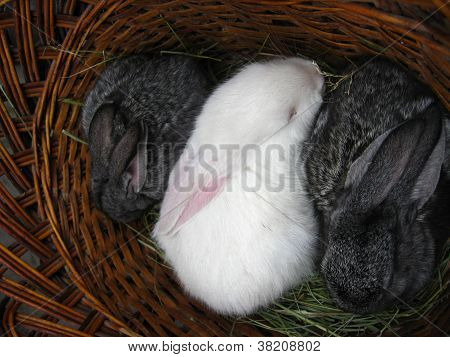brood of the little young rabbits