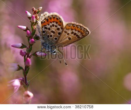 Beautiful Butterfly On Heath