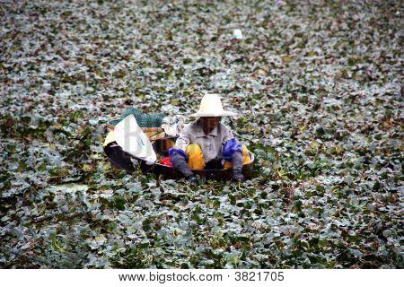 Water Cresent Harvest