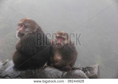 Tibetan Macaques In Mount Emei