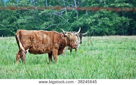 Longhorn escocés de vacas en pasto