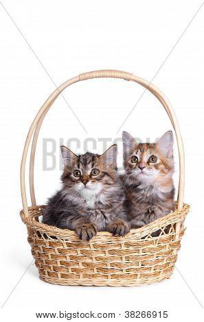 Two fluffy little kitten.