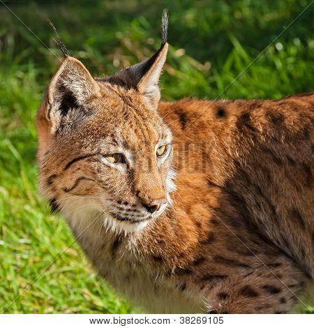 Eurasian Lynx Looking Over Shoulder