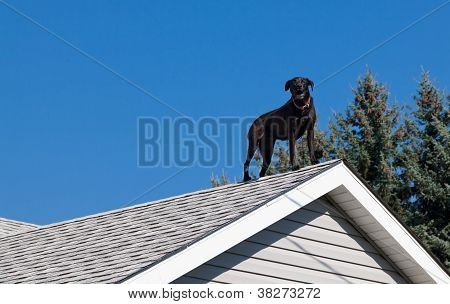 Black Lab On The Roof