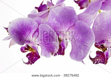 Multiple orchids against white background