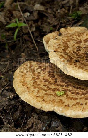 Wild Mushroom On Tree