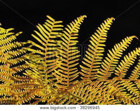 golden fall fern in sunlight against black background