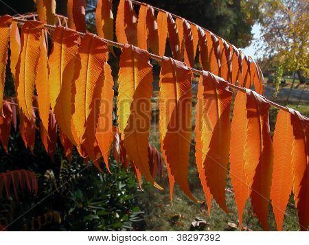 Rusty Orange Sumac Leaves