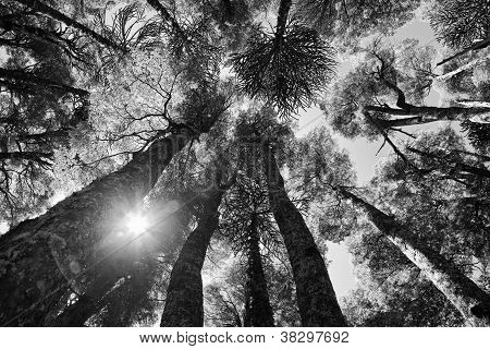 Inside And Araucaria Forest