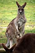 picture of frot  - Kangaroo is looking into the camera with another one in frot