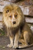 Dog Face Lion