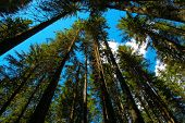 foto of coniferous forest  - Alpine forest photographed from below with blue sky