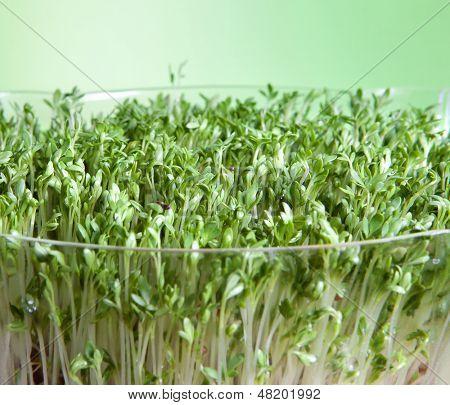 Closeup der grüne Gartenkresse Sprossen für eine gesunde Ernährung