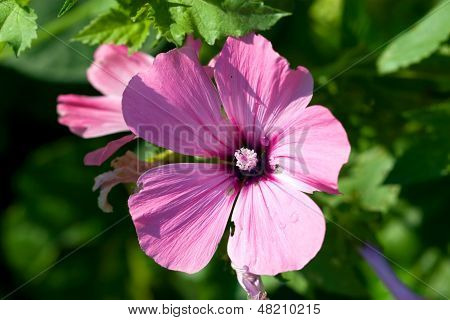 Gran rosa flor veraniego