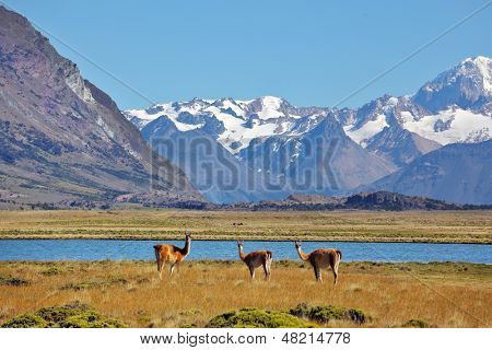 Bible landscape - a field, lake and snow-capped mountains in the distance. In the foreground are grazing guanaco. Patagonia